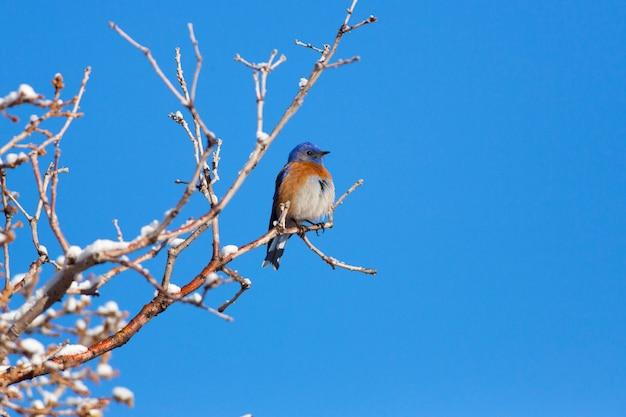Western bluebird w zimie
