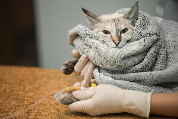 Weterynaryjne zakładanie cewnika na kota w klinice