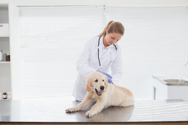 Weterynarz daje psu sprawdzić