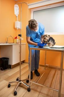 Weterynarz opiekujący się yorkshire terrierem z kroplówką dożylną w szpitalu dla zwierząt.