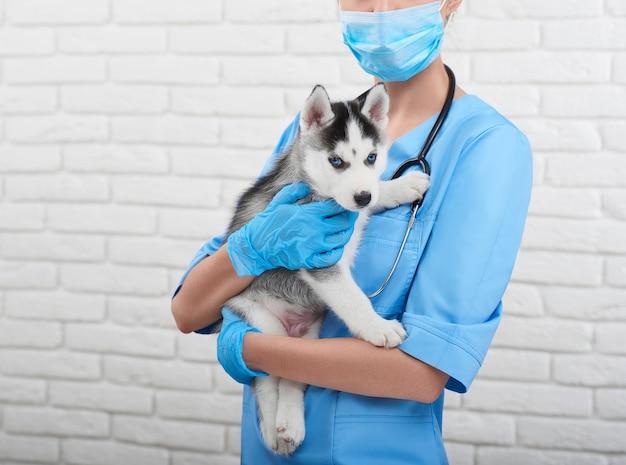 Weterynarz w szpitalu opiekujący się psem husky