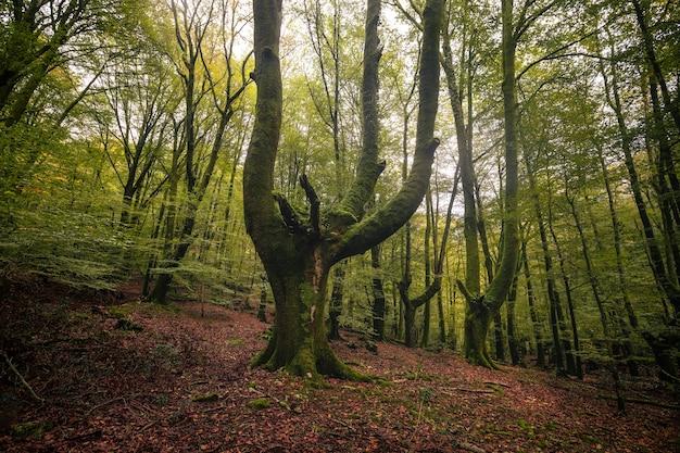 Wewnątrz typowego lasu w kraju basków w okresie jesiennym z zielonymi kolorami.