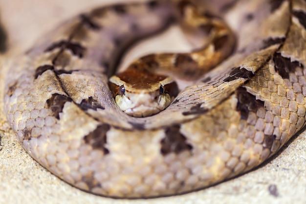Wężowa kobra królewska zwinęła się w kłębek na ziemi.