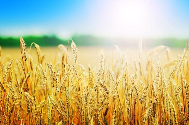 Wheats kolce