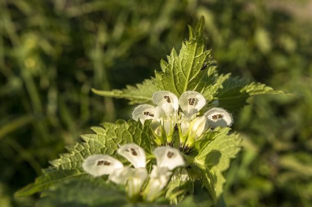 White dead nettle - album lamium. kwiaty w środku, pokazujące pręciki