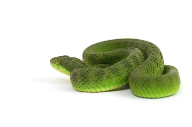 White-lipped green pit viper wąż na białym tle