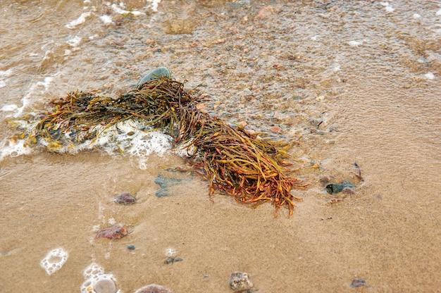 White sea fucus belomorsky, algi brunatne, rodzaj brunatnic znalezione w strefach pływów skalistego wybrzeża