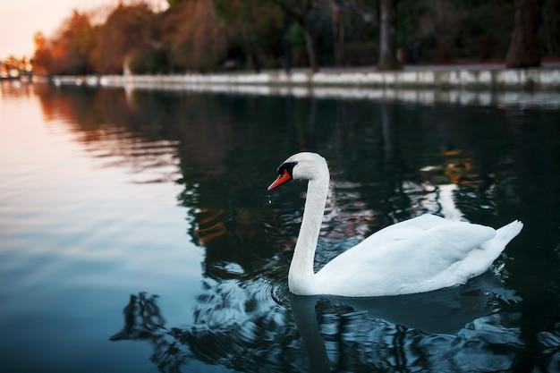White swan w kanale parku na tle wieczornego zachodu słońca