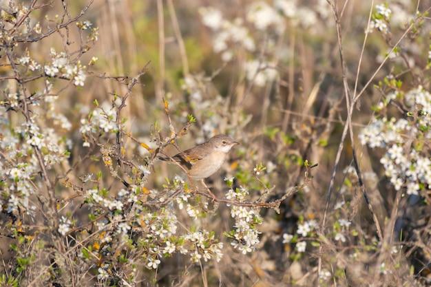 Whitethroat sylvia communis w dzikiej przyrodzie.