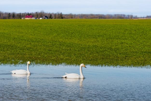 Whooper łabędź (cygnus cygnus), whooper łabędź karmi i odpoczywa na zielonych zalanych łąkach w pobliżu wiejskich domów