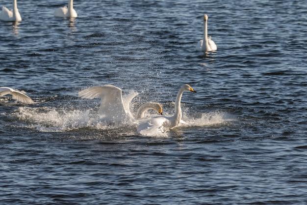 Whooper łabędzie, cygnus cygnus, walczące w wodzie hananger w liście w norwegii