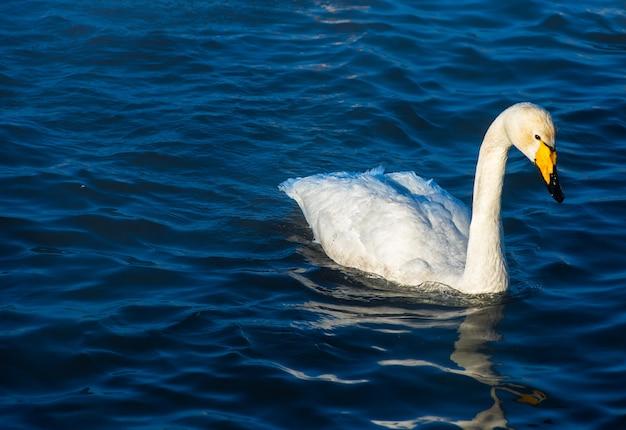 Whooper łabędzie pływające w jeziorze