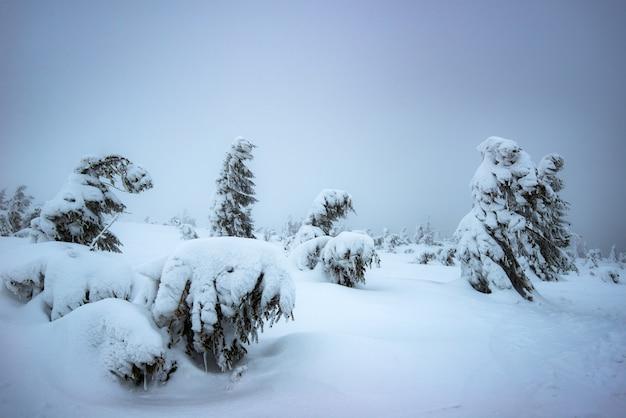 Wiatr wieje na ośnieżonych młodych jodłach rosnących na zboczu wzgórza wśród śniegu w zimie. pojęcie surowej północnej przyrody i piękna zimy. copyspace