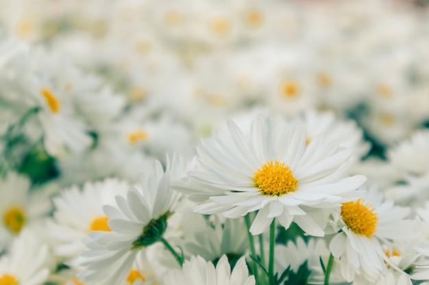 Wiązka biała stokrotka kwitnie w ogródzie.