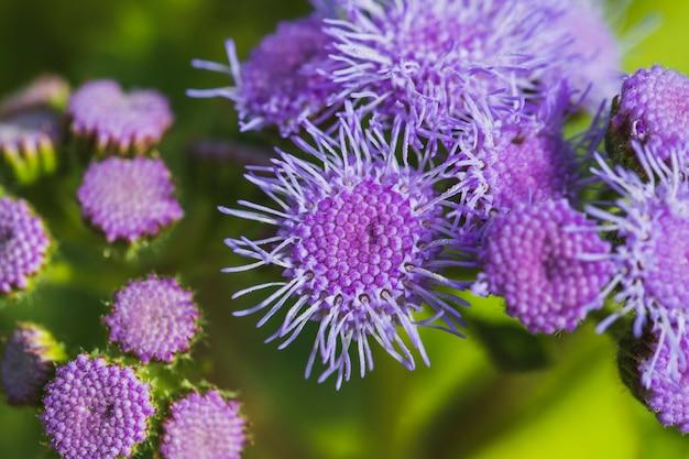 Wiązka cudownych fiołkowych kwiatów