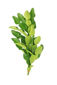 Wiązka liści bergamotki (liść wapna kaffir) na białym tle