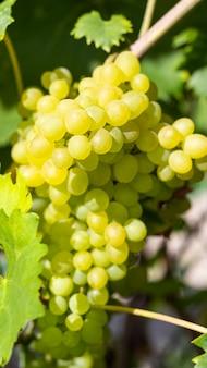 Wiązka zieleni winogrona na winogradzie. zrywać winogrona.