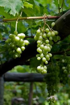 Wiązka zieleni winogrona wiesza w winnicy