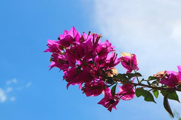 Wiązka żywy różowy kolor bougainvillea kwiat przeciw pogodnemu niebieskiemu niebu