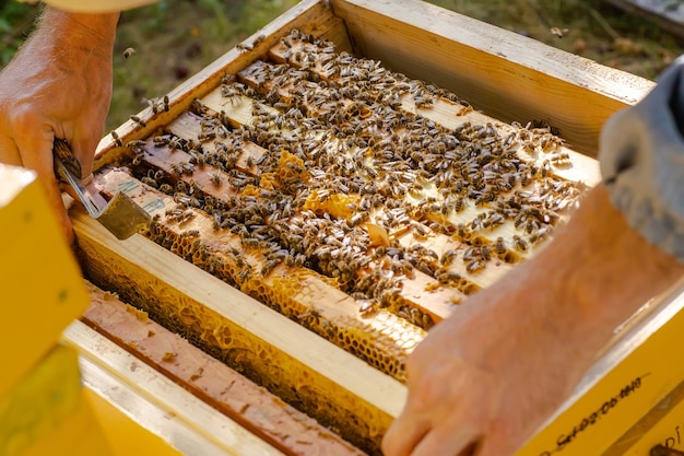 Widoczne drewniane ramki pszczół. ramy porośnięte są rojem pszczół