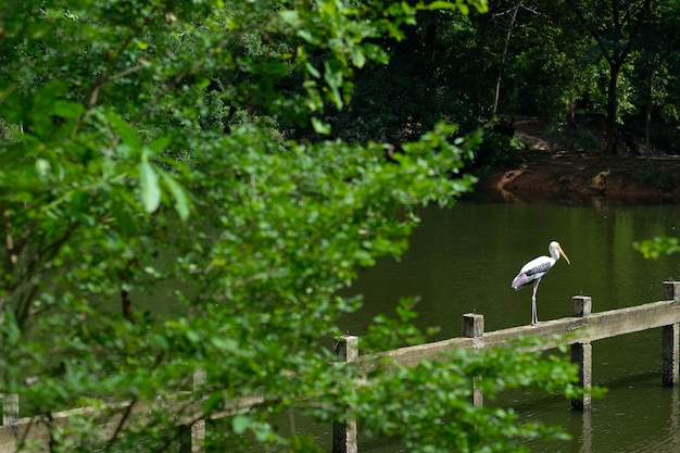 Widok azjatycki openbill bocian umieszczający na moscie w jeziorze zw parku