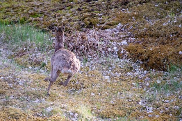 Widok biegnącego młodego jelenia