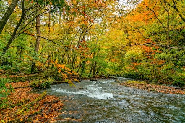 Widok górskiego potoku oirase przepływający kolorowy las liściasty w sezonie jesiennym