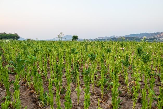 Widok gospodarstwa roślin tytoniu w nongkhai