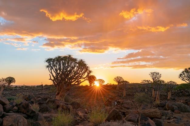 Widok kołczanów drzewa lasowi z pięknego niebo zmierzchu nieba mroczną sceną w keetmanshoop, namibia