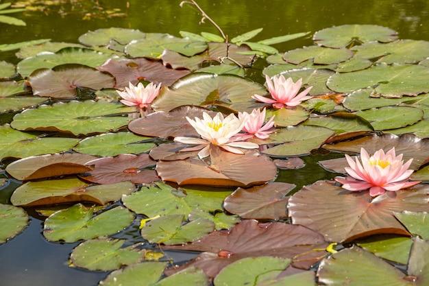 Widok lilii wodnych w stawie w parku przyrody. widok z góry.