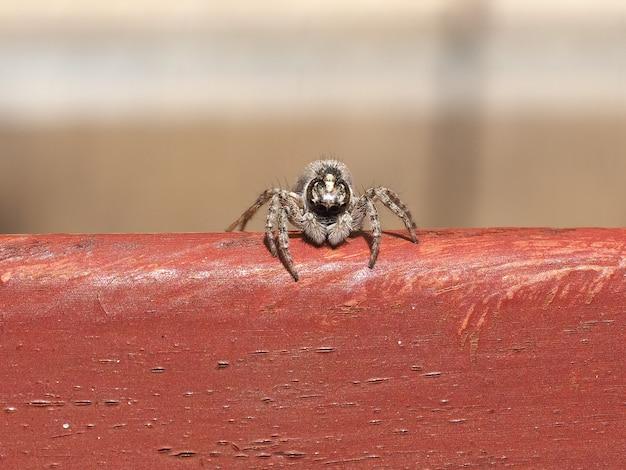 Widok makro pająka (pajęczak) z przodu