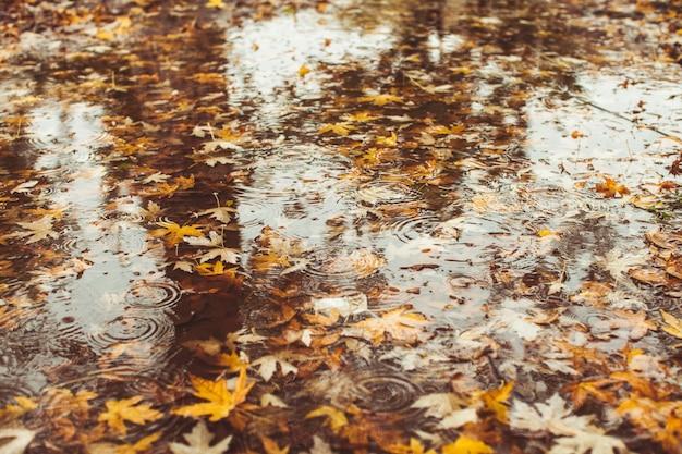 Widok makro żółtych liści klonu w pudde