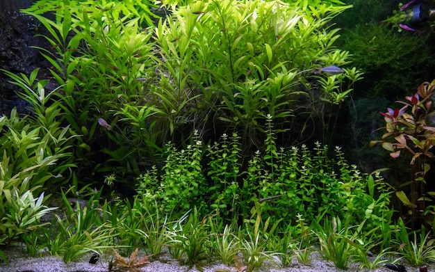Widok na akwarium słodkowodne z tropikalnymi rybami i roślinami wodnymi