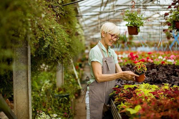 Widok na dobrze wyglądającą starszą kobietę pracującą z wiosennych kwiatów w zieleni