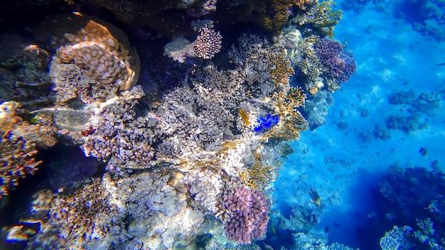 Widok na koralowce podwodnego królestwa, w którym czai się niebieska muszla