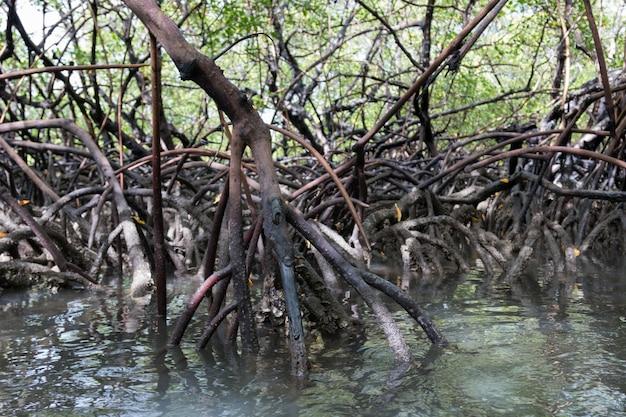 Widok na korzenie tropikalnej roślinności namorzynowej.