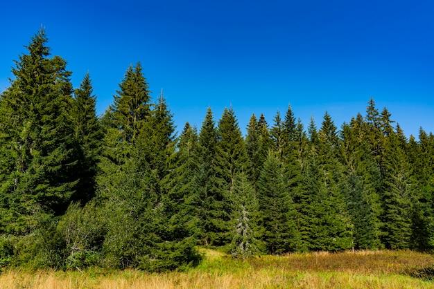 Widok na las na górze tara w serbii w letni dzień