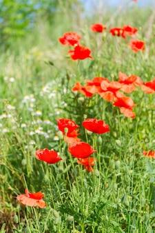 Widok na letni czerwony mak złożony z świeżej zielonej trawie