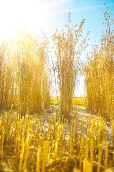 Widok na rośliny owsa na tle niebieskiego nieba i słońca
