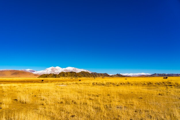Widok na stado krów mongolskich pasących się na żółtym stepie