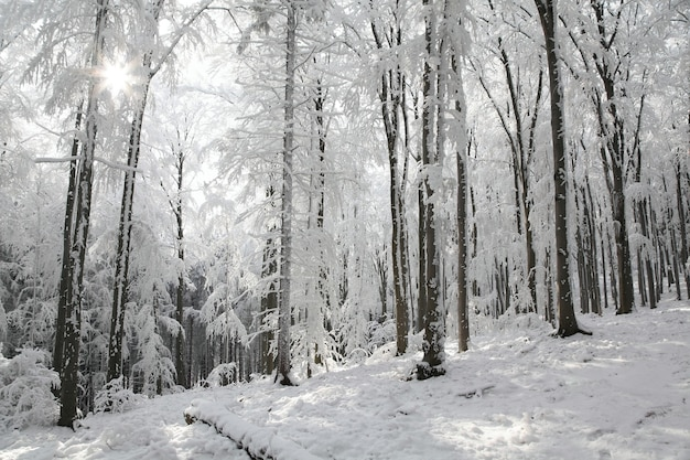 Widok na zimowy las bukowy w słoneczny mroźny poranek