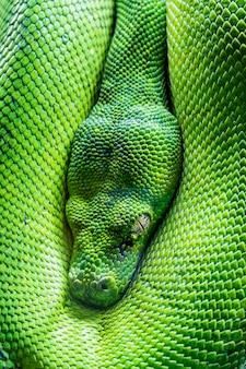 Widok oka pythona zielone drzewo