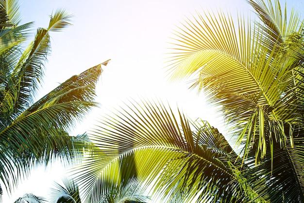 Widok perspektywiczny palm kokosowych