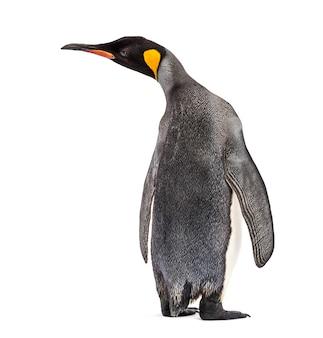 Widok pingwina królewskiego na białym tle z tyłu