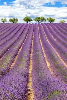 Widok pionowy pola lawendy z pochmurnego nieba, francja, europa