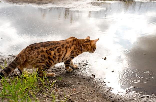 Widok rasowego kota bengalskiego przyglądającego się uważnie kałuży wody