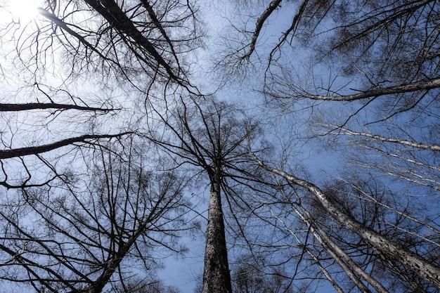 Widok robaka na wysokie, nagie sosny na tle błękitnego nieba