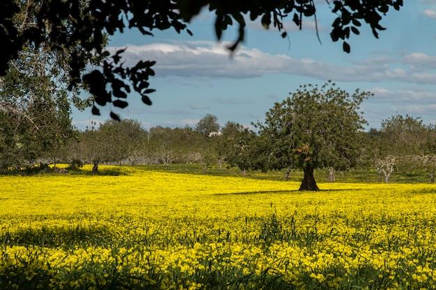 Widok sadu chleba świętojańskiego w polu żółte kwiaty na wsi portugalii.