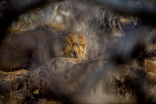 Widok selektywnej ostrości lwa leżącego na ziemi w oddali