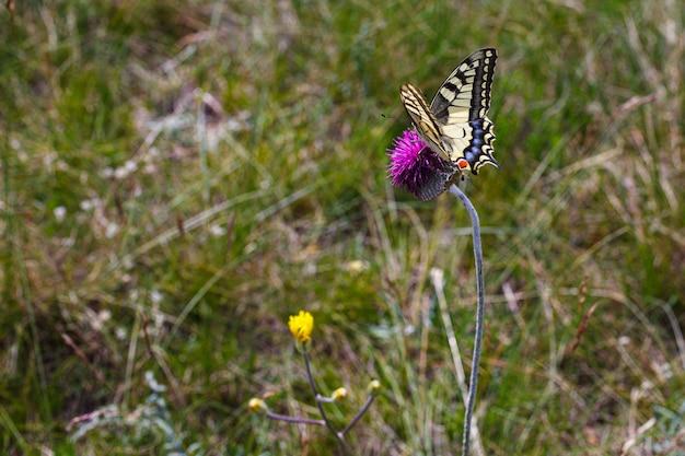 Widok Starego świata Paziowatych Na Kwiat Jurinea Mollis Premium Zdjęcia